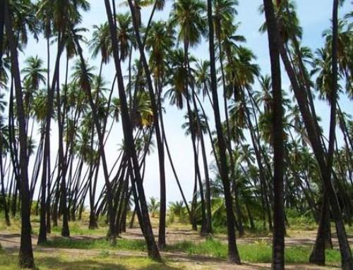 Kapuaiwa Coconut Grove (2015)